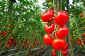 トマトの温室
