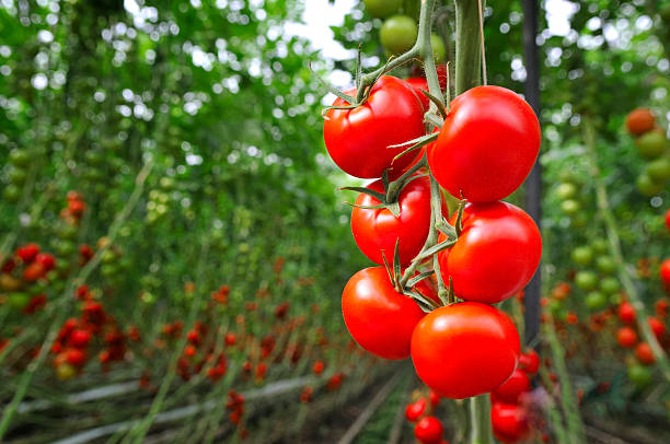 Tomato Greenhouse stock photo