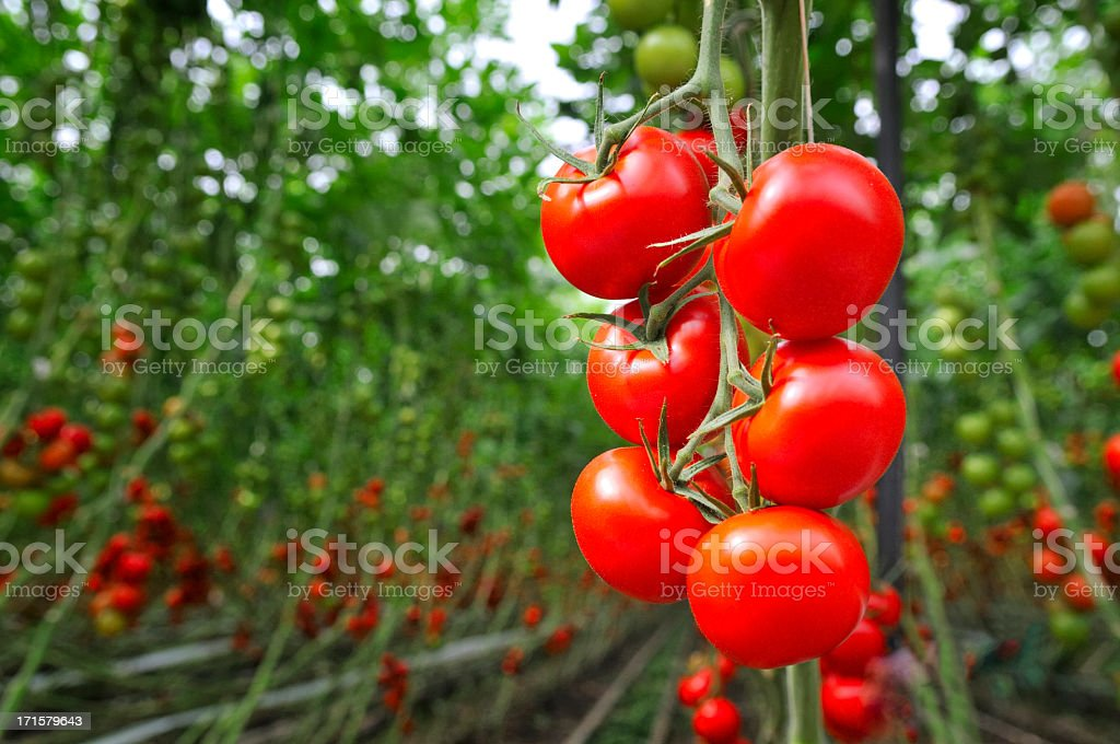 Tomato Greenhouse stock photo