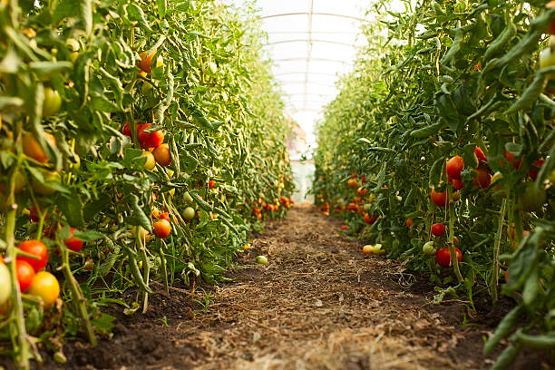 tomato growing in greenhouse - tomato field stock photos and pictures