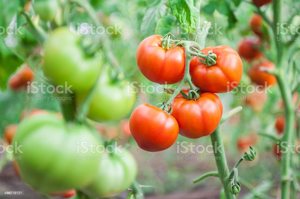 Tomato harvest. stock photo