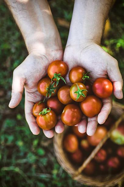 Tomato harvest stock photo