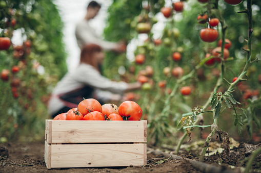 Group of young gardeners picking tomatoes in greenhouse. Crate full of juicy tomatoes in focus