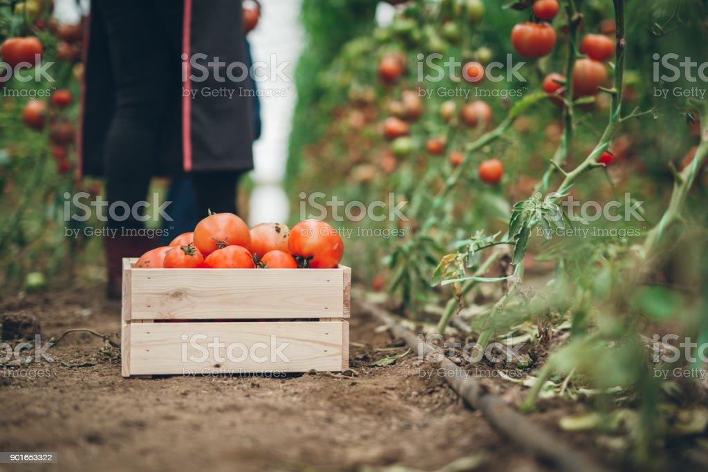 Tomaten-Ernte-Zeit – Foto