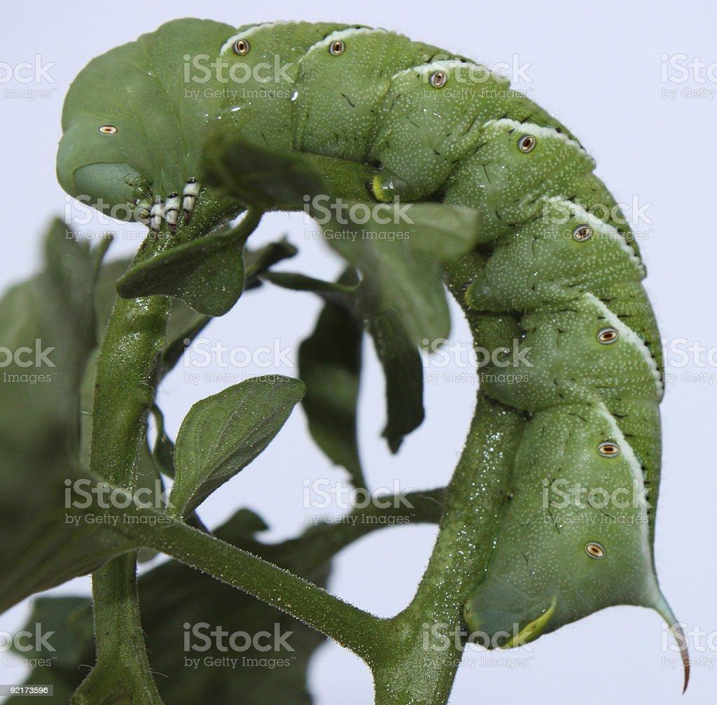 Tomato Horn Worm stock photo