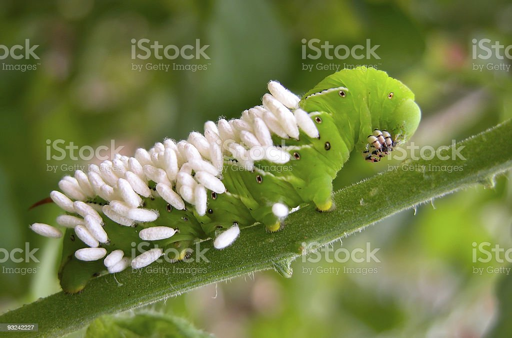 Tomato Hornworm with Wasp Eggs stock photo