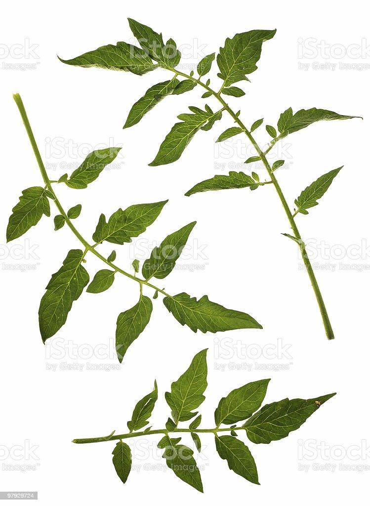 Tomato leaf royalty-free stock photo