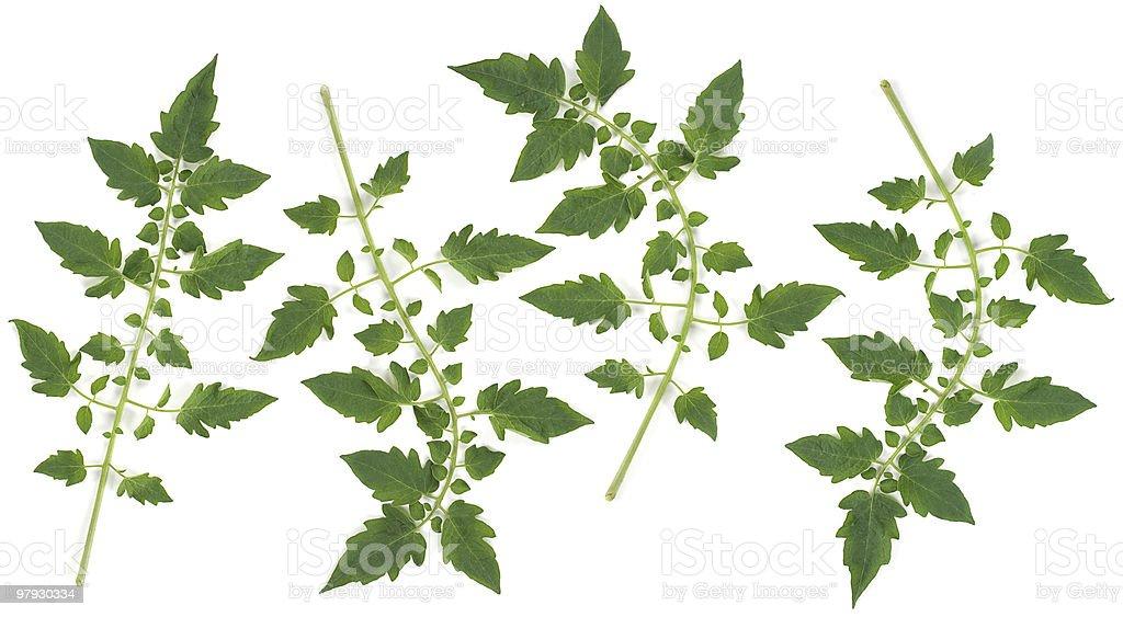 Tomato leaf set royalty-free stock photo