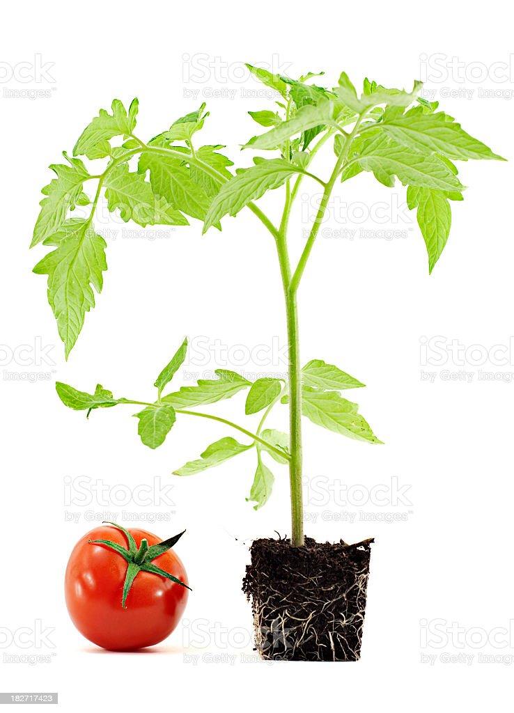 Tomato next to plant in soil pot shape to express growth stock photo