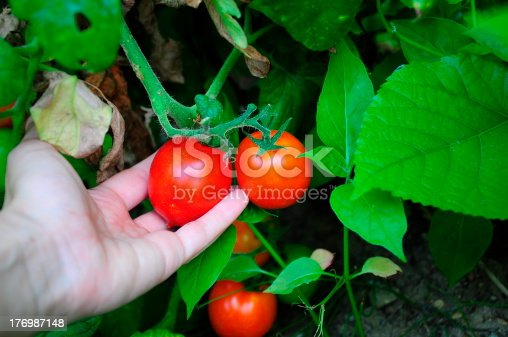 a hand holding /picking cherry tomato from garden