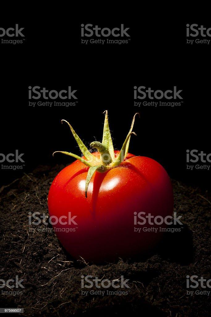 Tomato on Soil royalty-free stock photo