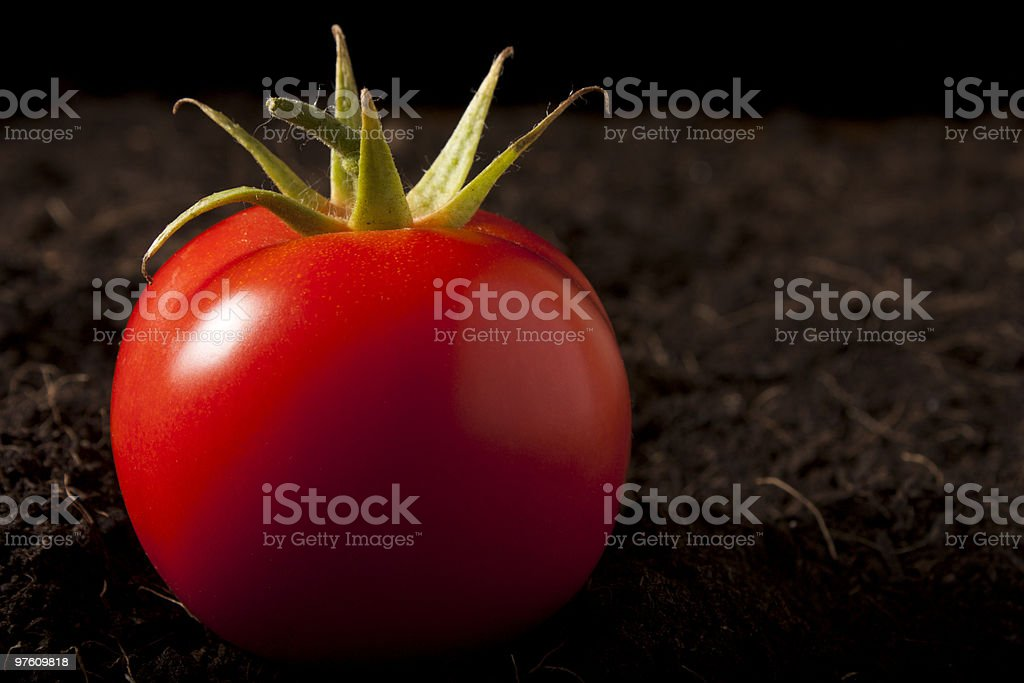 Tomato on Soil royalty-free stock photo