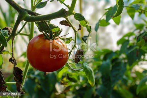 Tomato on the branches. Red ripe tomato on the vine. Growing tomatoes in a greenhouse.