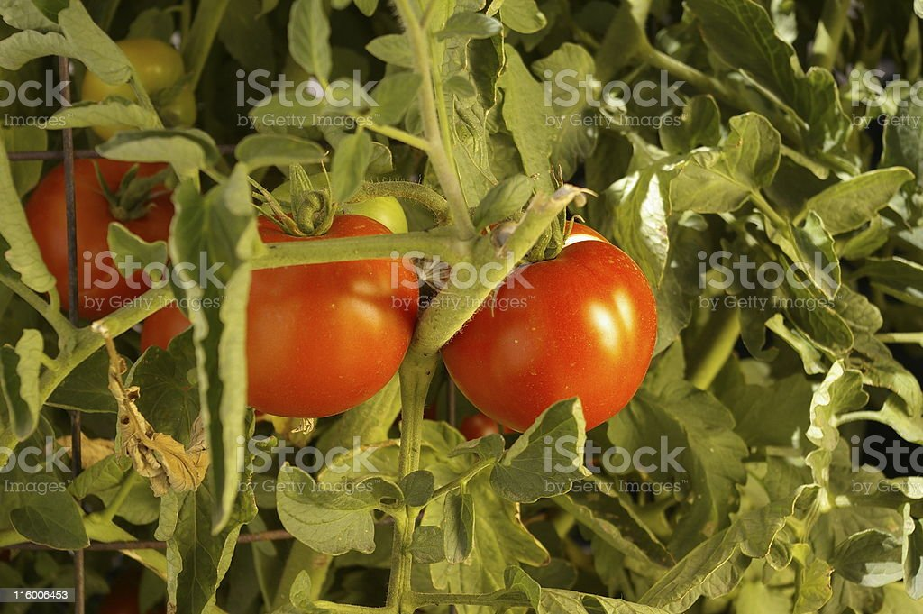 tomato on the vine stock photo