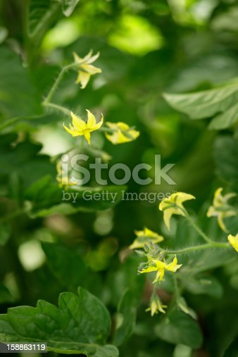 Yellow blossoms on a tomato plant.