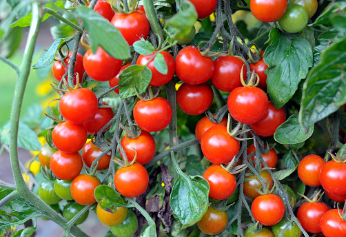 Outdoor grown Cherry tomatoes, F1 Sweet Million, ripening on the vine in a garden.