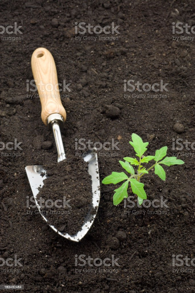 Tomato Plant and Trowel royalty-free stock photo