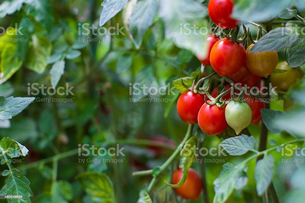 Tomato Plant Close-up stock photo