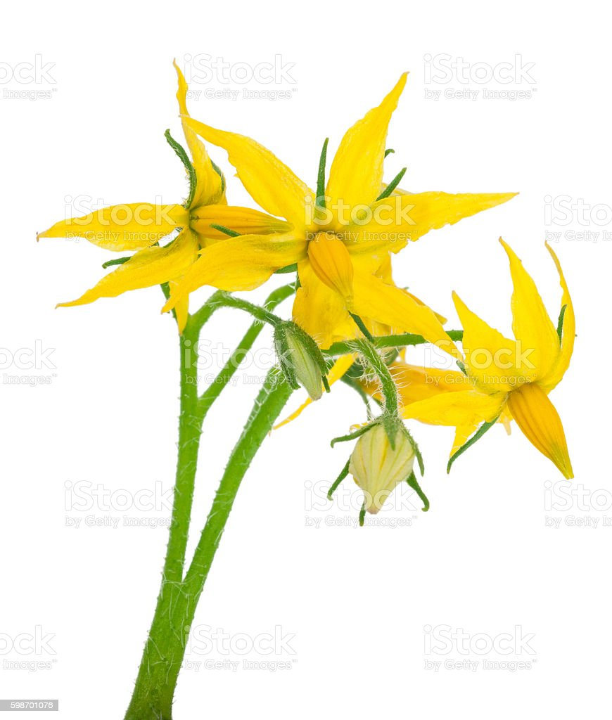 Tomato Plant Flower Stock Photo More Pictures Of Cut Out Istock