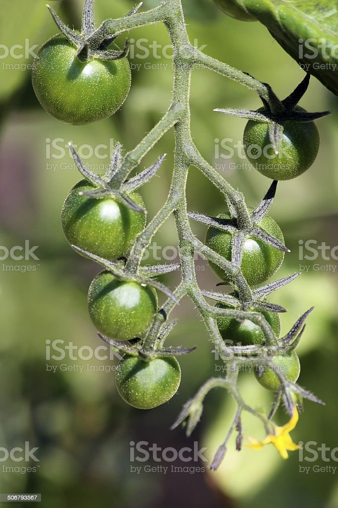 Tomato plant fruit vegetable garden yellow flowers green tomatoes tomato plant fruit vegetable garden yellow flowers green tomatoes vine royalty free mightylinksfo