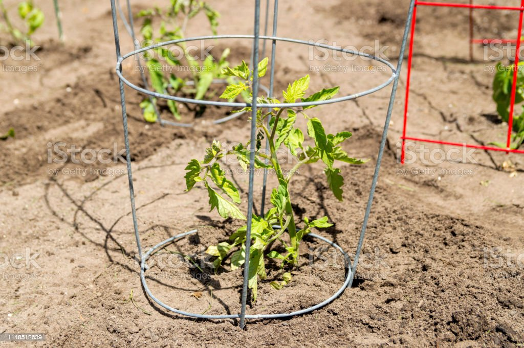 Tomato Plant In A Backyard Garden Surrounded By A Wire Mesh