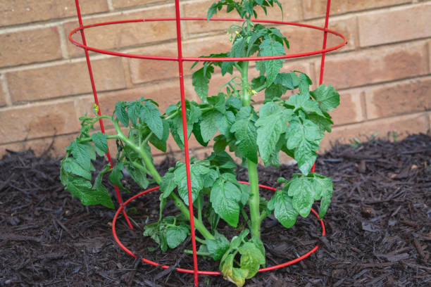 Tomato Plant in a Cage in a Home Vegetable Garden stock photo