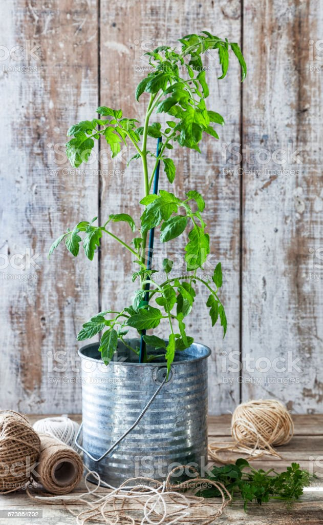 Ahşap bir masa üzerinde bir teneke tencerede domates bitki. royalty-free stock photo