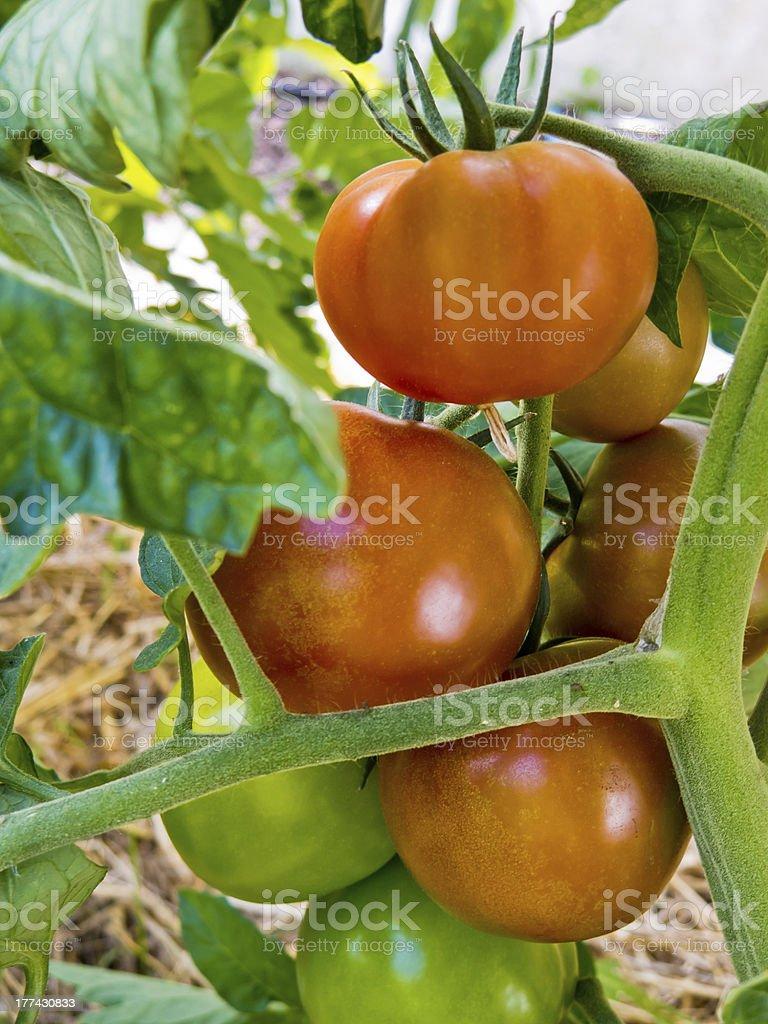 Pianta di pomodoro - foto stock
