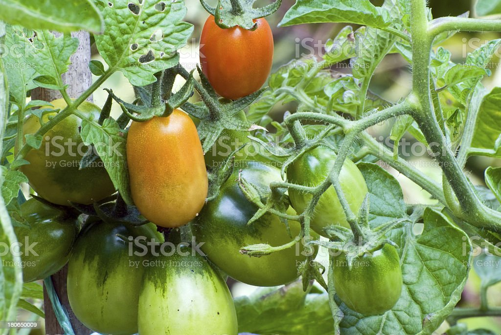 Tomato plant royalty-free stock photo
