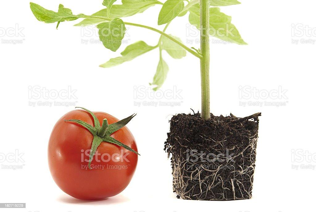 Tomato Plant stock photo