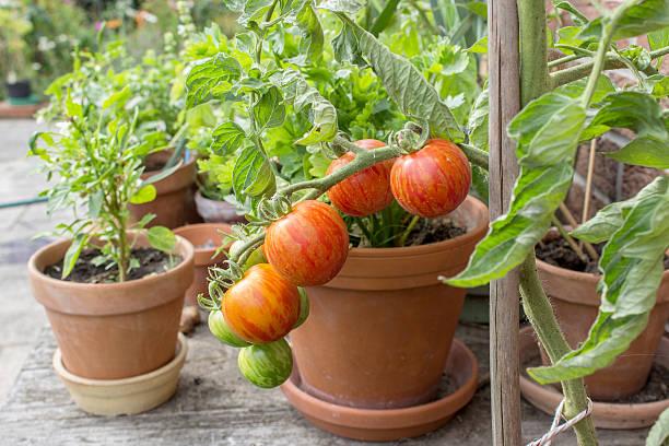 Tomatenpflanze – Foto