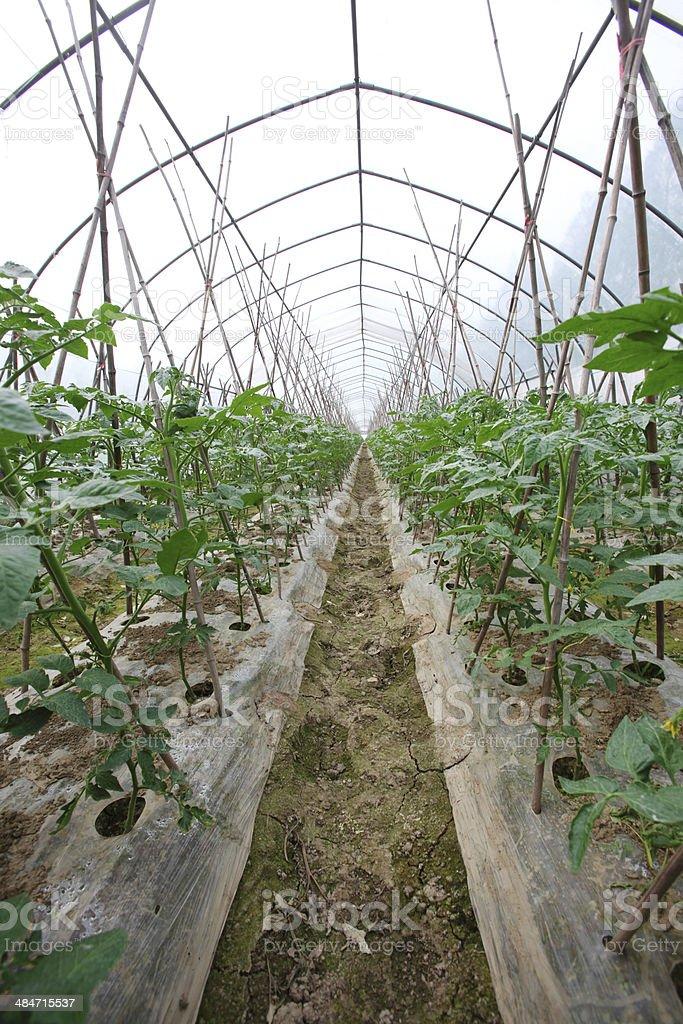 Tomato plantation in Greenhouse royalty-free stock photo
