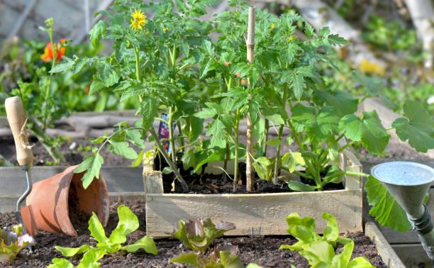 plantas de tomate y lechuga en una jaula puesta en el suelo de un huerto - foto de stock