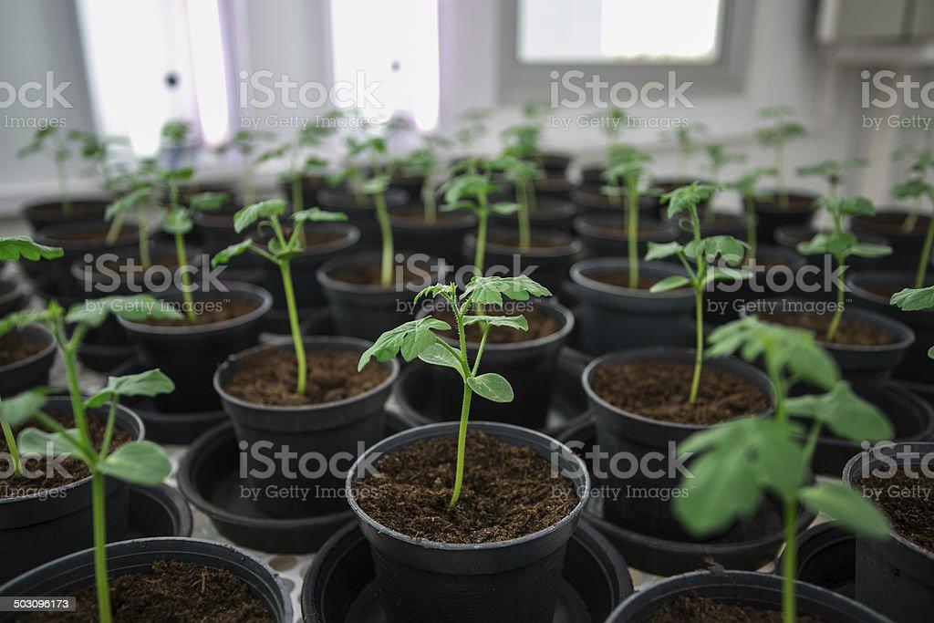 Tomato plants for disease testing. stock photo