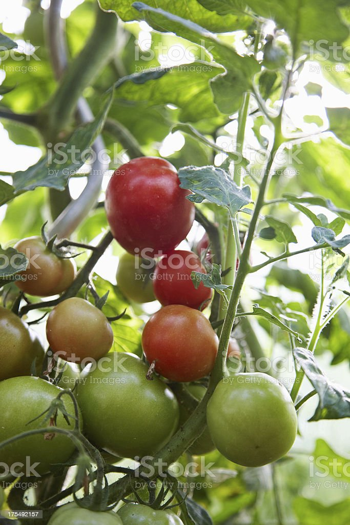 Tomato plants growing in greenhouse royalty-free stock photo