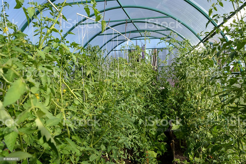 Tomato plants growing tall in greenhouse stock photo