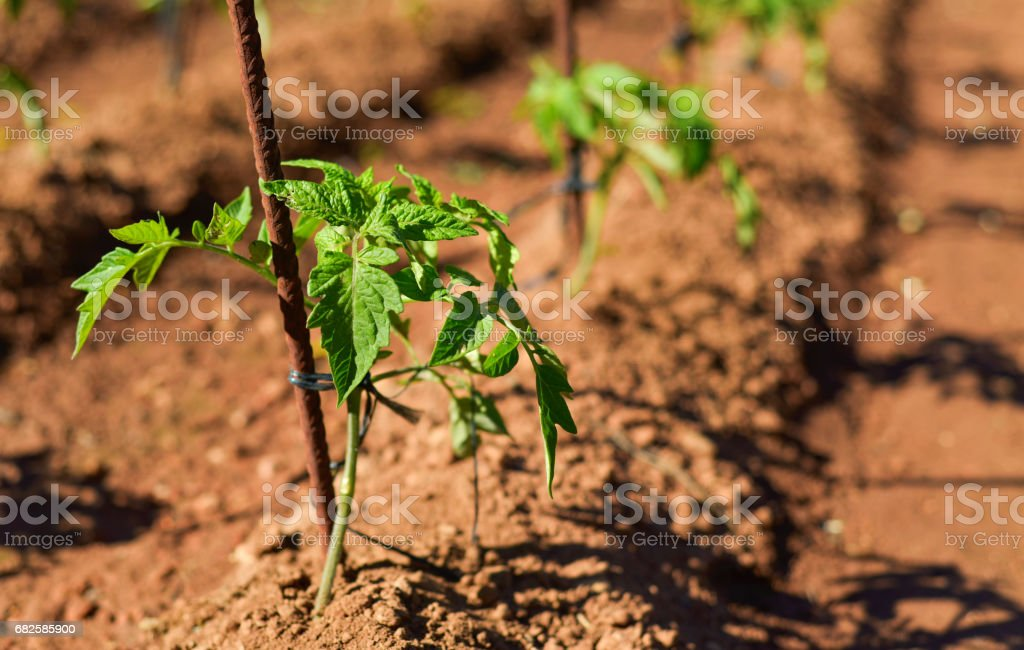 tomato plants in an organic orchard stock photo