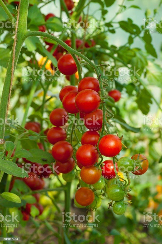 Tomato plants in greenhouse stock photo