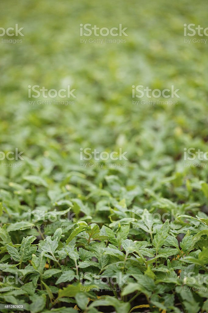Tomato plants royalty-free stock photo