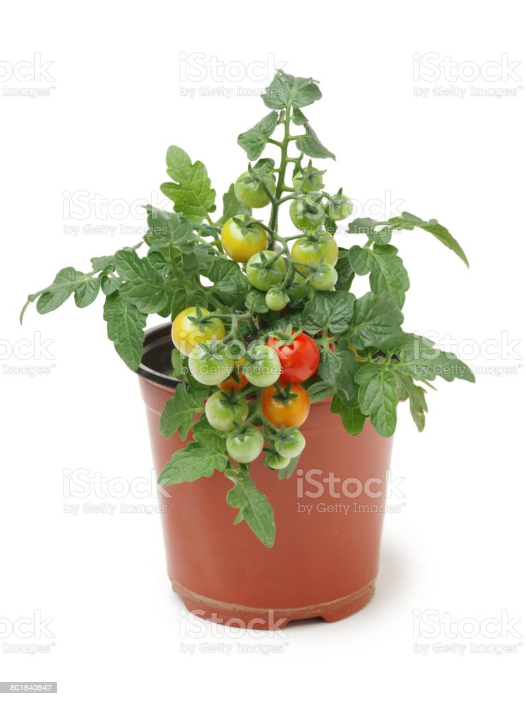 Tomato seedling in a jar on white background stock photo