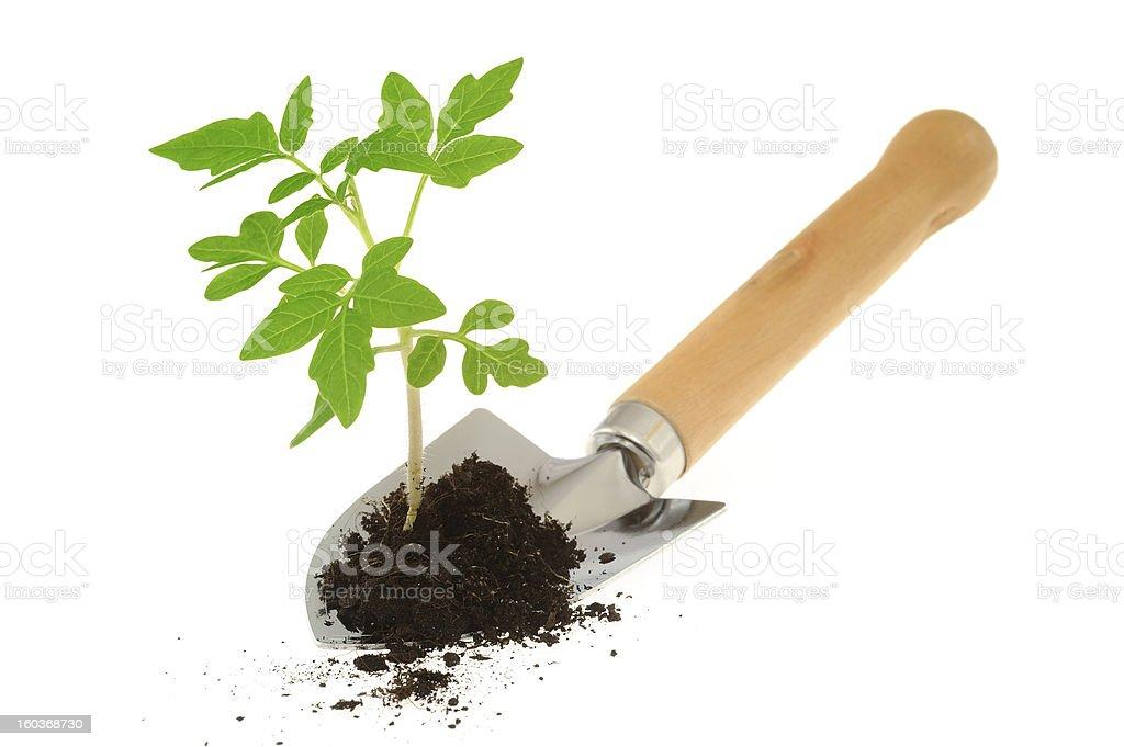 Tomato seedling in dirt on garden trowel isolated on white stock photo