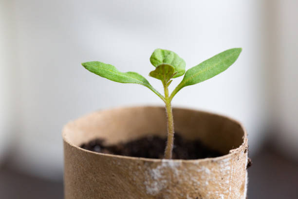 Tomato seedling in toilet paper roll stock photo