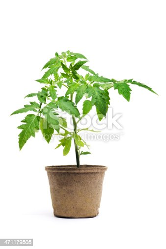 A young tomato seedling potted plant, a garden vegetable in a paper container, shown isolated on white background. Tomatoes may be organically grown and are a gardening food favorite for serious gardeners.