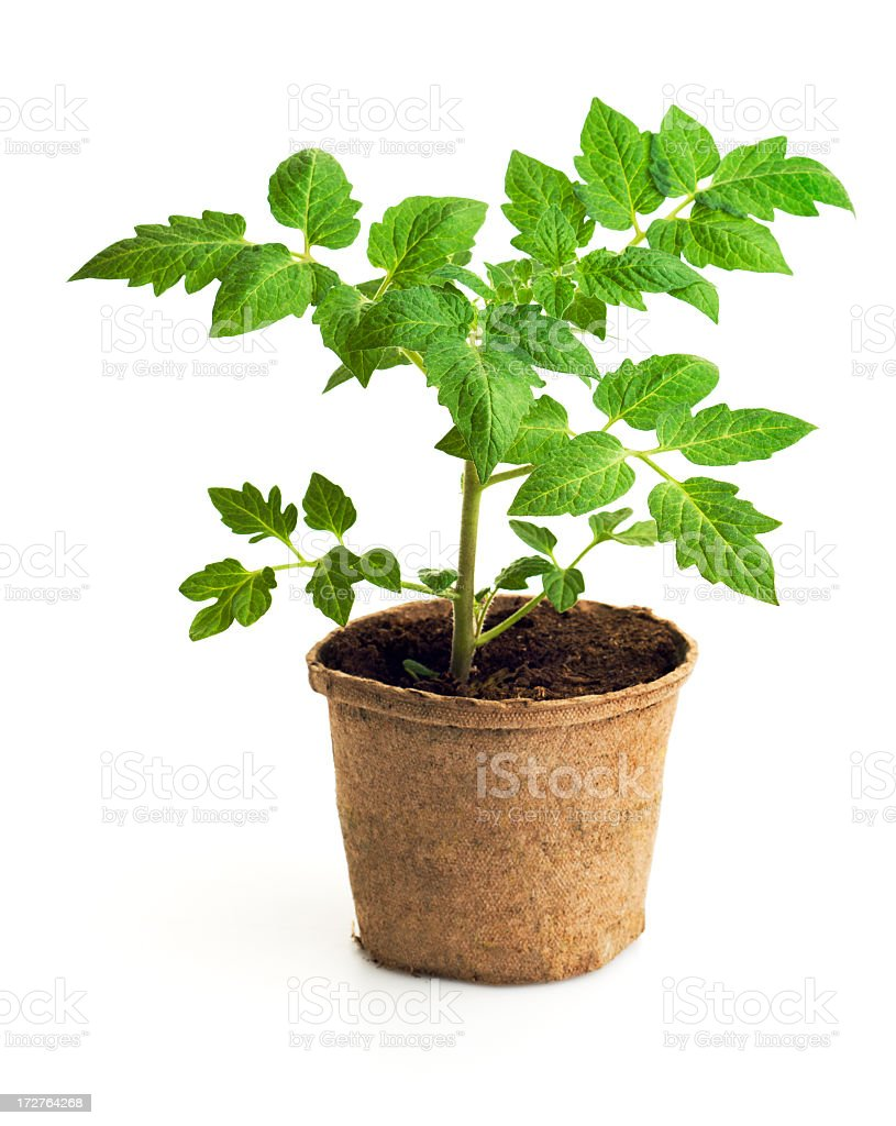 Tomato Seedling Vegetable Potted Plant Isolated in White Background stock photo