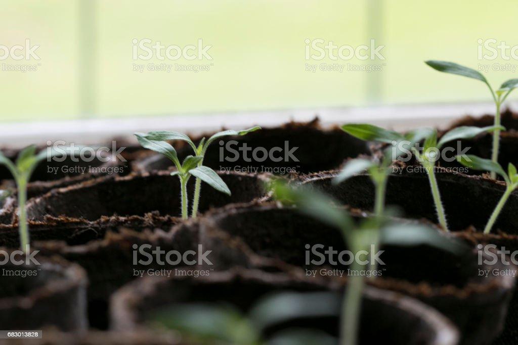 tomato Seedlings 2 royalty-free stock photo