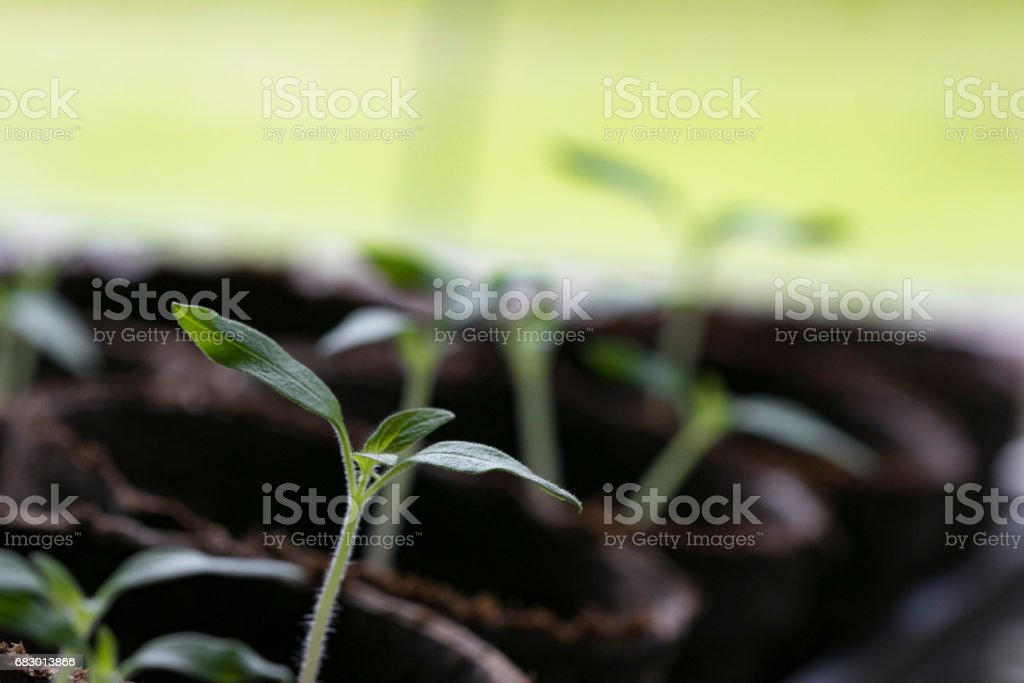 tomato Seedlings 3 royalty-free stock photo