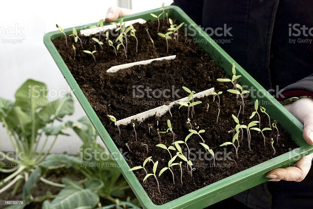 Tomato seedlings in a greenhouse royalty-free stock photo