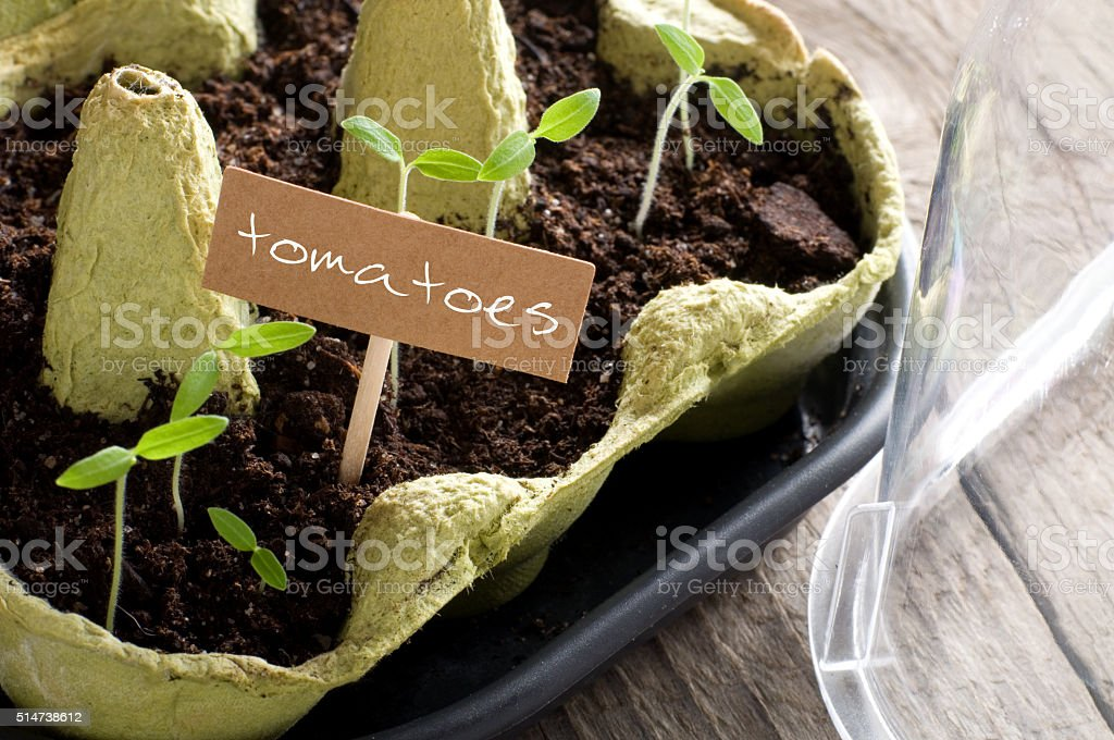 Tomato seedlings in mini-greenhouse with lettering stock photo