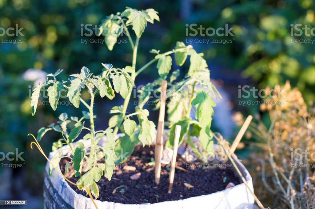 Tomato seedlings stock photo