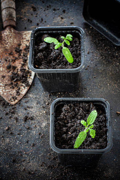Tomato seedlings stock photo